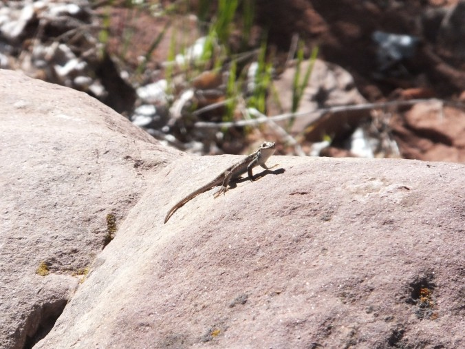 Little lizards were EVERYWHERE doing their cute little lizard pushups